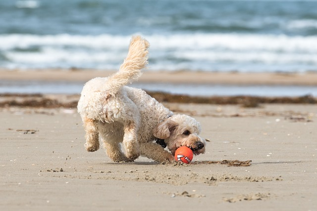 Cute dog chasing a ball on a white sand beach with the sea in the background
