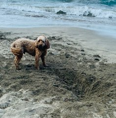 Wet and sandy fluffy spoodle dog standing beside a very large hole he has just dug on the beach