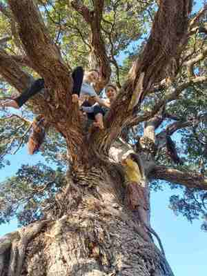 Children high in ancient Pohutukawa Tree on Waiheke Island